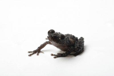 A robber frog (Pristimantis parvillus) near Mindo, Ecuador.