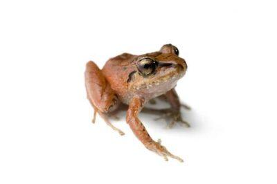 A rain or robber frog (Eleutherodactylus achatinus) near Mindo, Ecuador.