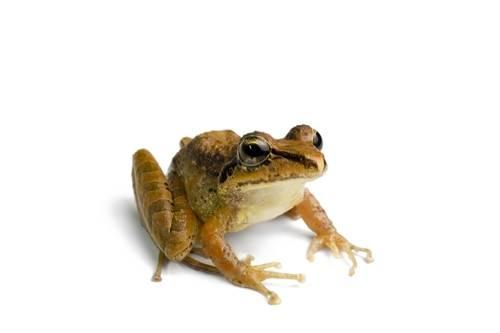 A robber frog (Eleutherodactylus w-nigrum or Pristimantis w-nigrum).