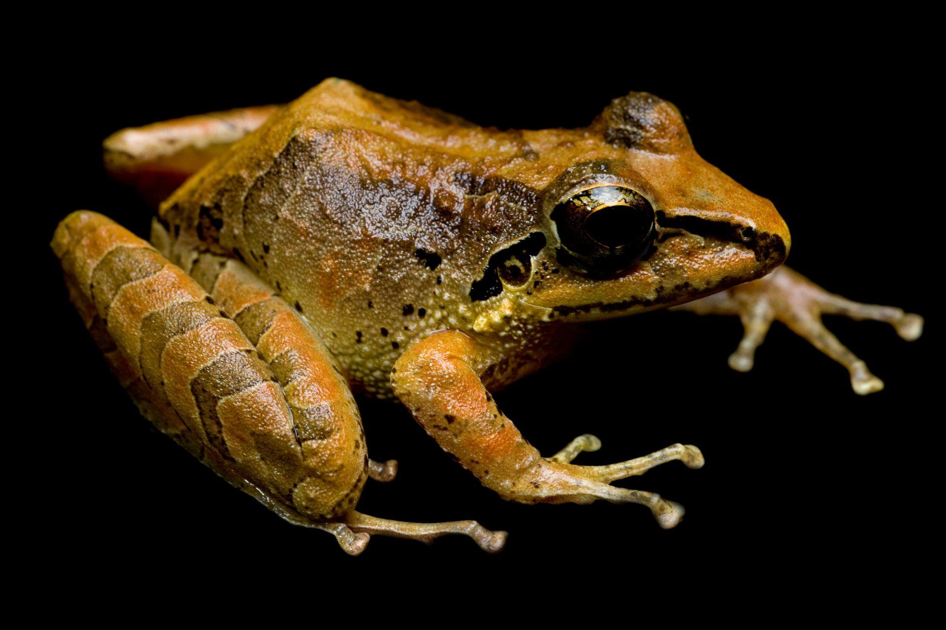 A Zurucuchu robber frog (Pristimantis w-nigrum) near Mindo, Ecuador.