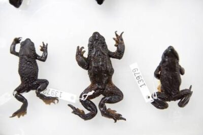 Photo: Atelopes ignescens, one of many extinct Atelopus species in the collection at Pontificia Universidad Catolica del Ecuador in Quito.