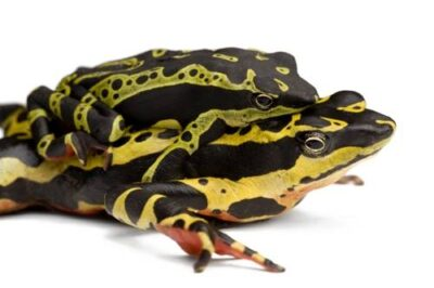 A live male harlequin frog (Atelopus sp.) in amplexis with (mounted on) a dead female, near Limon, Ecuador.