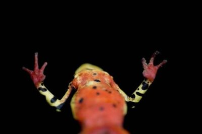 A harlequin frog (Atelopus sp.) near Limon, Ecuador.