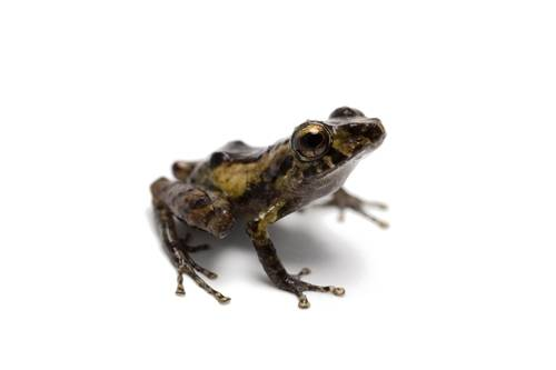 A robber frog (Pristimantis species) near Limon, Ecuador.