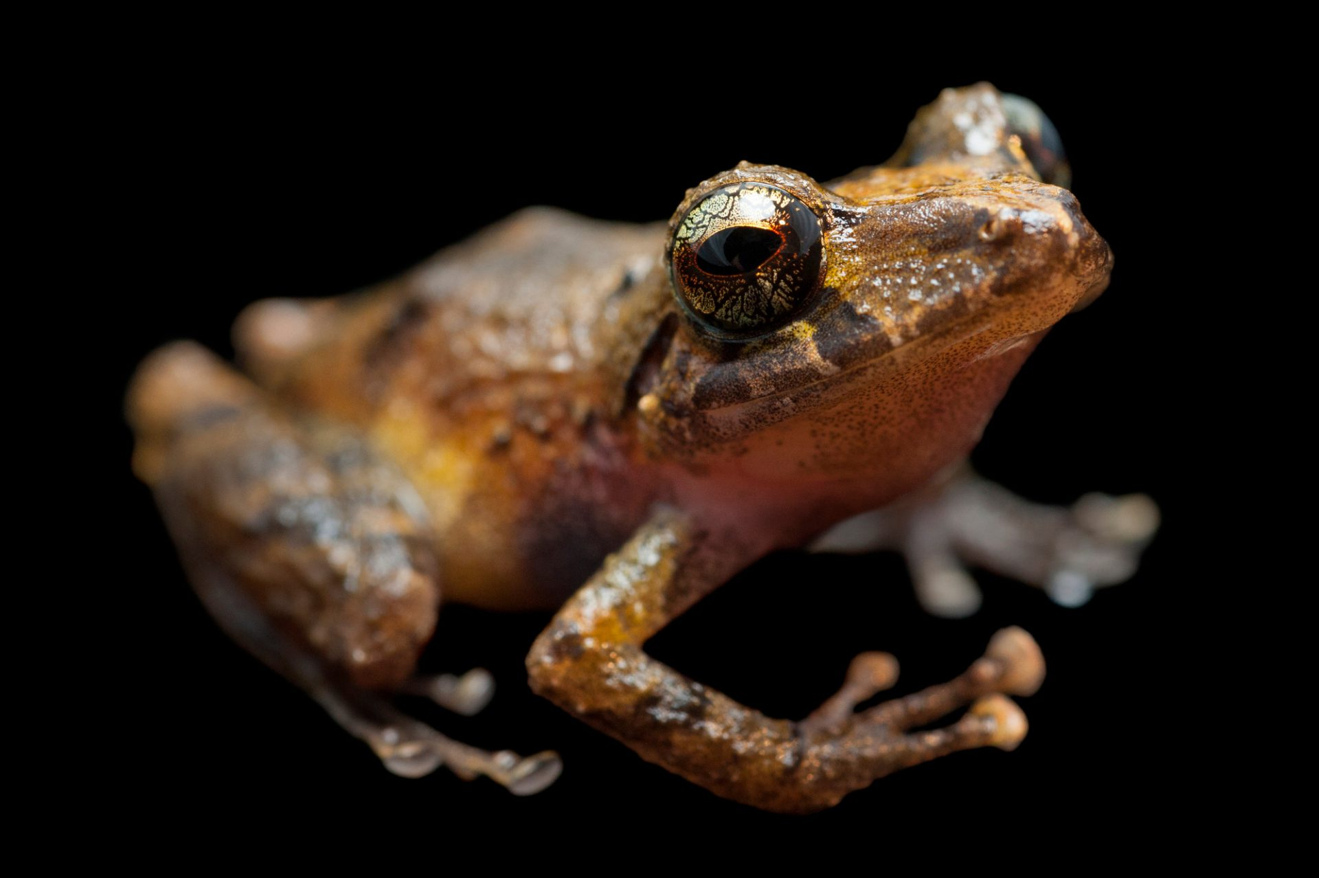 A robber frog (Pristimantis species) near Limon, Ecuador.