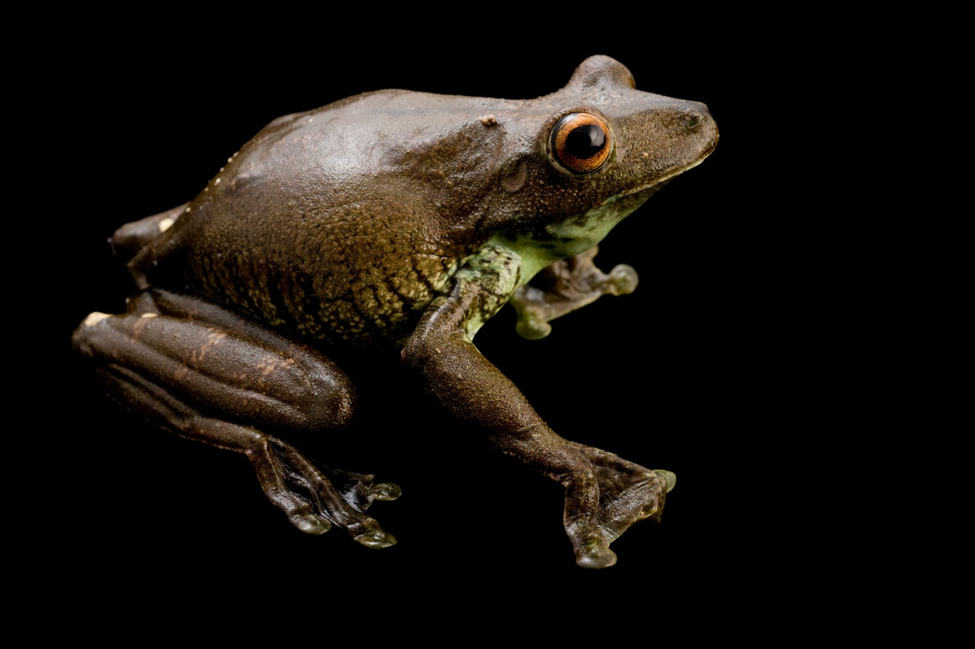 A gladiator frog (Hypsiboas boans) near Limon, Ecuador.