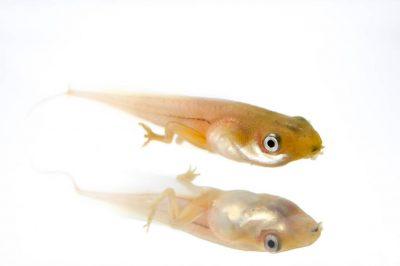 Rana Mono Amazonica tadpole (Hylomantis hulli), collected near Pilalo, Ecuador.