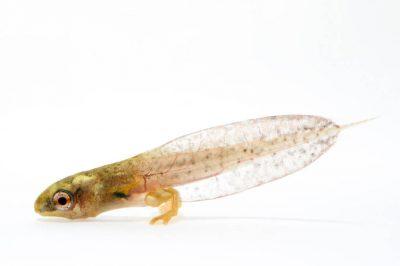 A juvenile Shreve's Sarayacu treefrog (Dendropsophus sarayacuensis) collected near Pilalo, Ecuador.