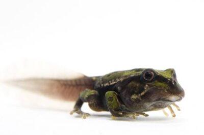 An endangered San Lucas marsupial frog (Gastrotheca pseustes) tadpole collected near Pilalo, Ecuador.