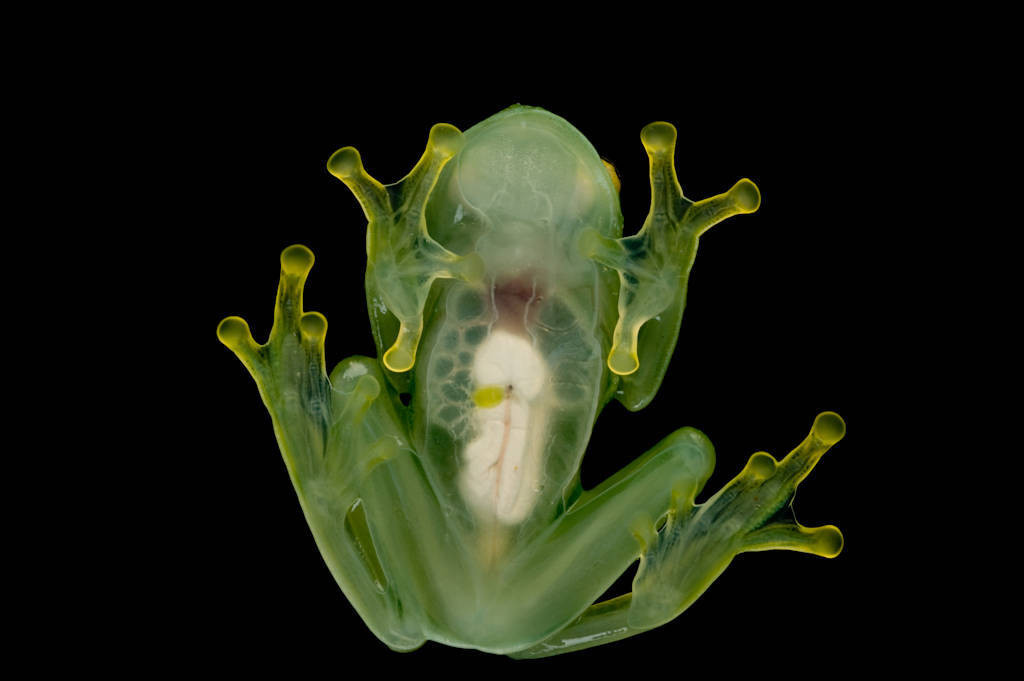 An endangered Rio Azuela glass frog (Hyalinobatrachium pellucidum) collected near Pilalo, Ecuador.