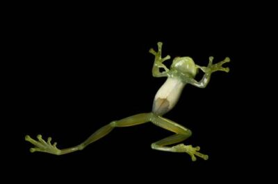 An endangered Napo giant glass frog (Centrolene audax) collected near Pilalo, Ecuador.