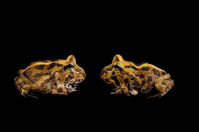 Juvenile Stolzmann's horned frogs, Ceratophrys stolzmanni. This species is listed as vulnerable.