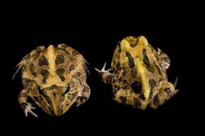 Vulnerable Stolzmann's horned frogs (Ceratophrys stolzmanni) collected near Pilalo, Ecuador.