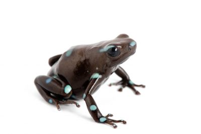 A green and black poison dart frog (Dendrobates auratus) collected near Pilalo, Ecuador.