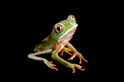 A brownbelly leaf frog (Phyllomedusa tarsius) collected near Pilalo, Ecuador.