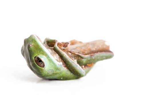 A brownbelly leaf frog (Phyllomedusa tarsius) collected near Pilalo, Ecuador.