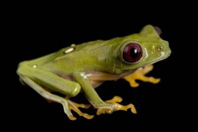 A gliding treefrog (Agalychnis spurrelli) collected near Pilalo, Ecuador. This individual used to be called Agalychnis litodryas.