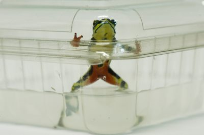 A critically endangered stubfoot toad (Atelopus limon), infected with chytrid fungus, at a lab in Quito, Ecuador.