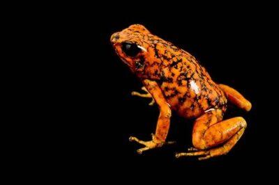 Picture of a Pichincha or diabolito poison frog (Oophaga sylvatica) at Pontificia Universidad Católica del Ecuador.