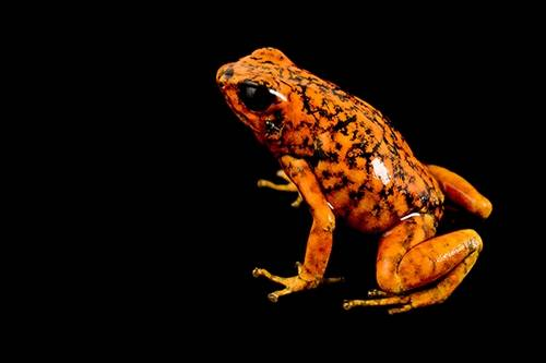 Picture of a Pichincha or diabolito poison frog (Oophaga sylvatica) at Pontificia Universidad Católica del Ecuador.