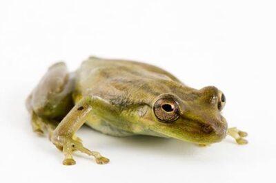 Photo: A Fowler's snouted treefrog (Scinax quinquefasciatus) at Pontificia Universidad Católica del Ecuador.
