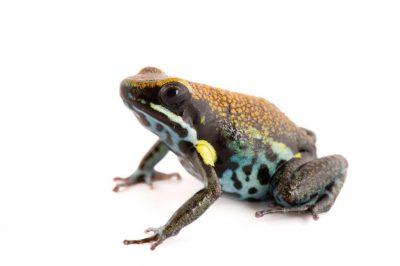 An Ecuador poison frog (Ameerega bilinguis) at Pontificia Universidad Católica del Ecuador.