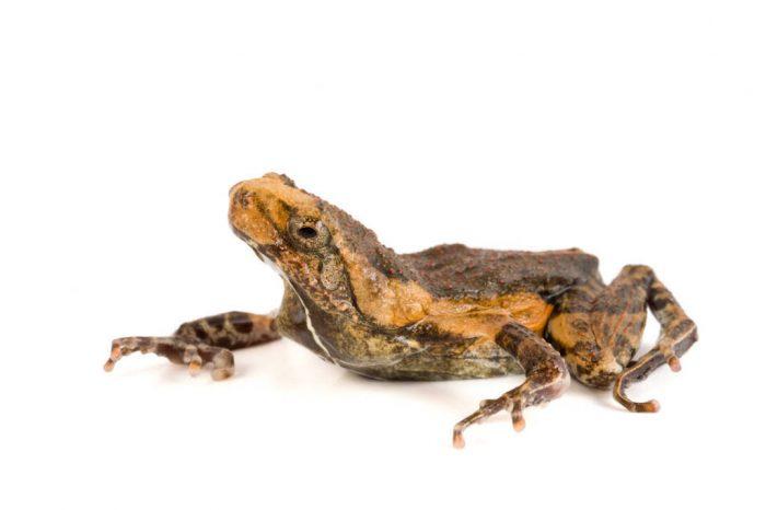 A Peters dwarf frog (Physalaemus petersi) at Pontificia Universidad Católica del Ecuador.