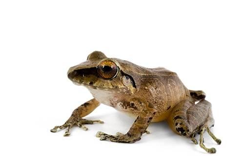 A robber frog (Pristimantis sp.) at Pontificia Universidad Católica del Ecuador.