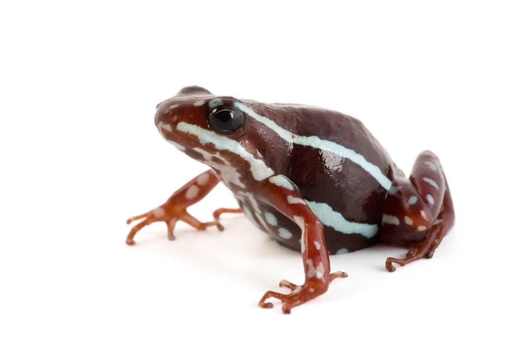 An Oro phantasmal poison frog (Epipedobates anthonyi) at Pontificia Universidad Católica del Ecuador.