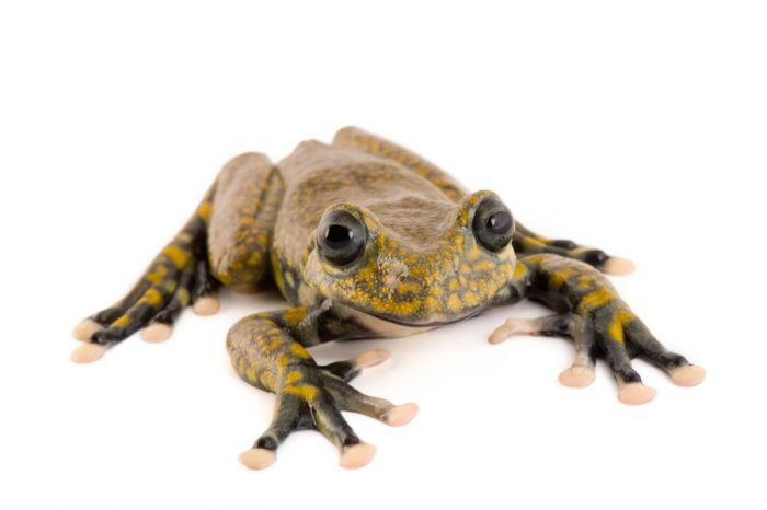An endangered Rio Chingual Valley treefrog (Hyloscirtus pantostictus) at Pontificia Universidad Católica del Ecuador.