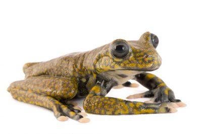 An endangered Rio Chingual Valley treefrog (Hyloscirtus pantostictus) at Pontificia Universidad Católica del Ecuador.