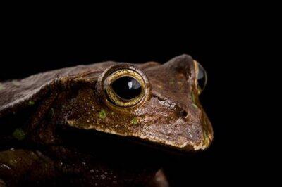 An Espada's marsupial frog (Gastrotheca testudinea) at Pontificia Universidad Católica del Ecuador.