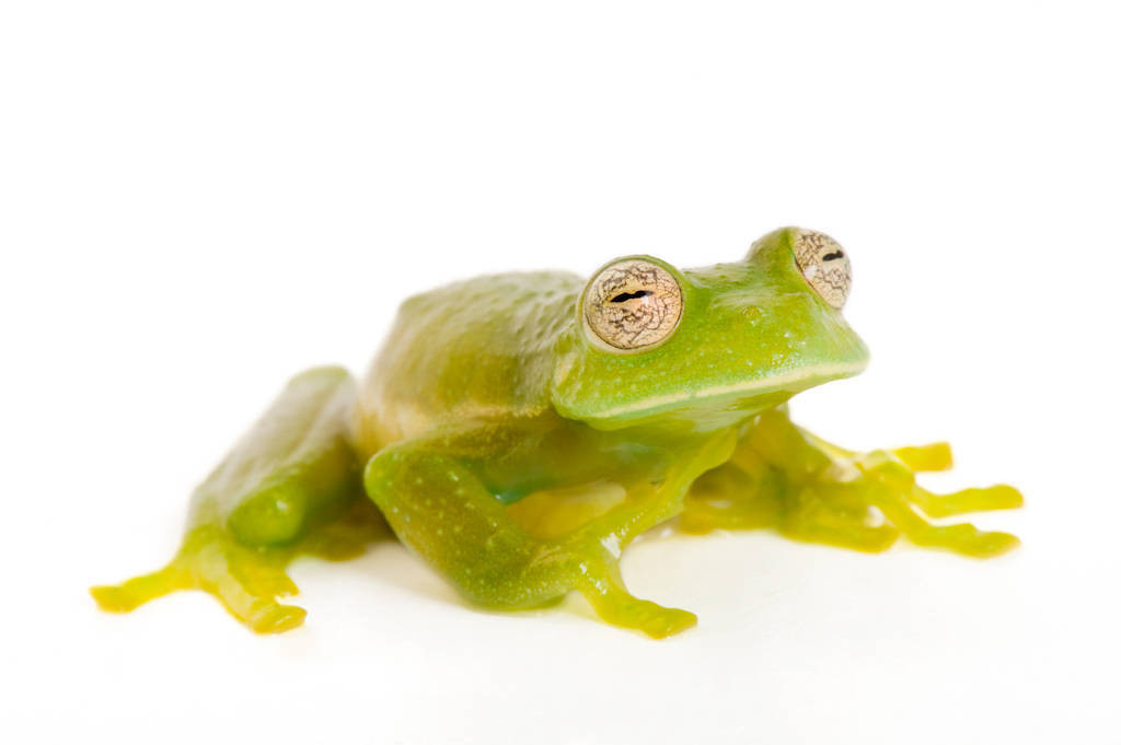 A vulnerable Buckley's giant glass frog (Centrolene buckleyi) at Pontificia Universidad Católica del Ecuador.