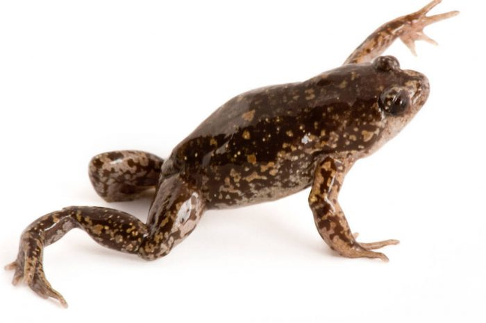 A Cuenca Nelson frog (Nelsonophryne aequatorialis) at Pontificia Universidad Católica del Ecuador.