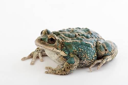 An endangered San Lucas marsupial frog (Gastrotheca pseustes) at Pontificia Universidad Catolica.