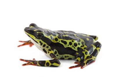 A vulnerable Pebas stubfoot toad (Atelopus spumarius) at a captive breeding facility in Quito, Ecuador.