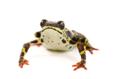 A vulnerable Pebas stubfoot toad (Atelopus spumarius) at a captive breeding facility in Quito, Ecuador.