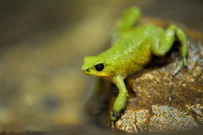 Photo: A harlequin frog (Atelopus exiguus). (IUCN: Critically Endangered)