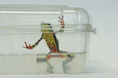 A stubfoot toad (Atelopus limon), infected with chytrid fungus, at a lab in Quito, Ecuador. (IUCN: Critically Endangered)