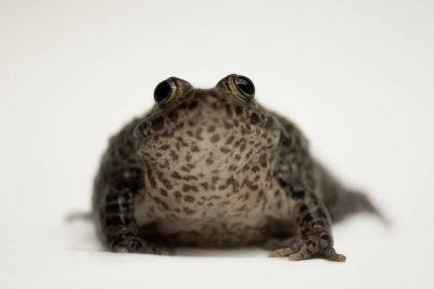 A critically endangered (IUCN) and federally endangered Mississippi gopher frog (Lithobates sevosa) from a private collection.