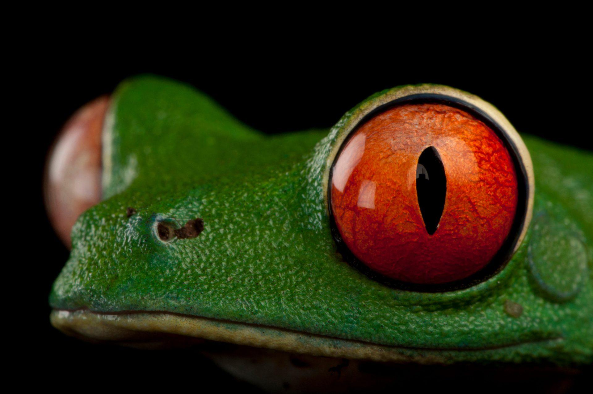 Red-eyed tree frog (Agalychnis callidryas) at the Miller Park Zoo.