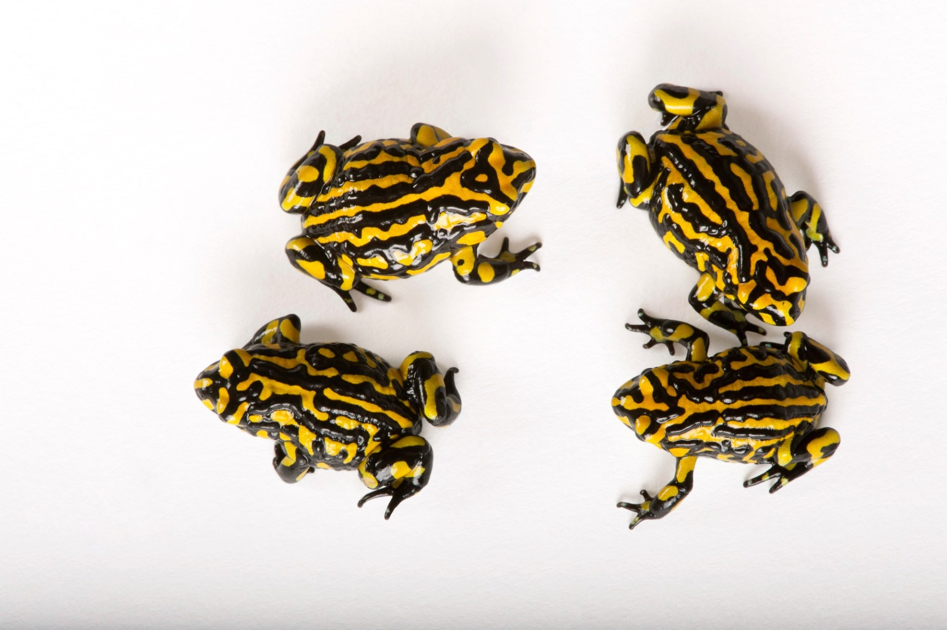 Southern corroboree frogs (Pseudophryne corroboree) a critically endangered species at the Healesville Sanctuary in Healesville, Victoria, Australia.