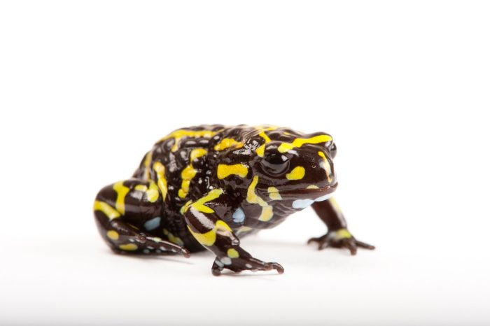 A Southern corroboree frog (Pseudophryne corroboree) a critically endangered species at the Healesville Sanctuary in Healesville, Victoria, Australia.