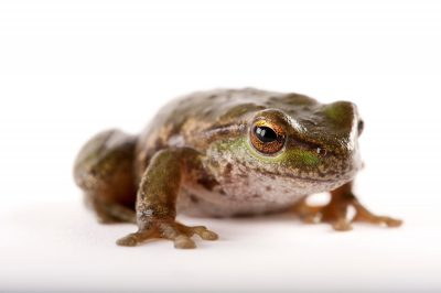 Picture of a spotted tree frog (Litoria spenceri), a critically endangered frog from Victoria.