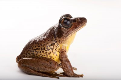A vulnerable stuttering or southern barred frog (Mixophyes balbus) at the Melbourne Zoo.