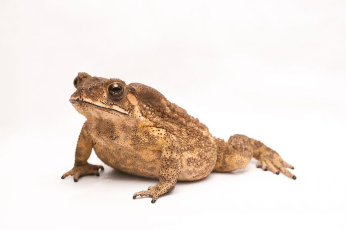 Photo: Black-spined toad (Duttaphrynus melanostictus) photographed in the wild in Hong Kong.