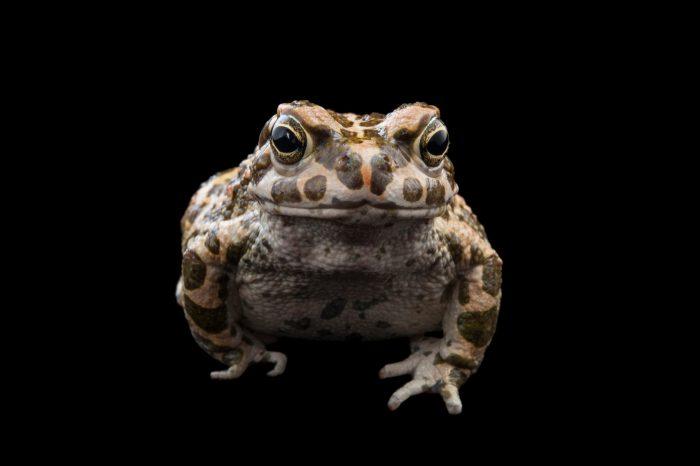 Photo: A green toad (Bufo viridis or Pseudepidalea virdis) at the Audubon Aquarium in New Orleans.