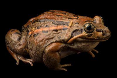 Eastern banjo frog (Limnodynastes dumerilii) at the Chattanooga Zoo.