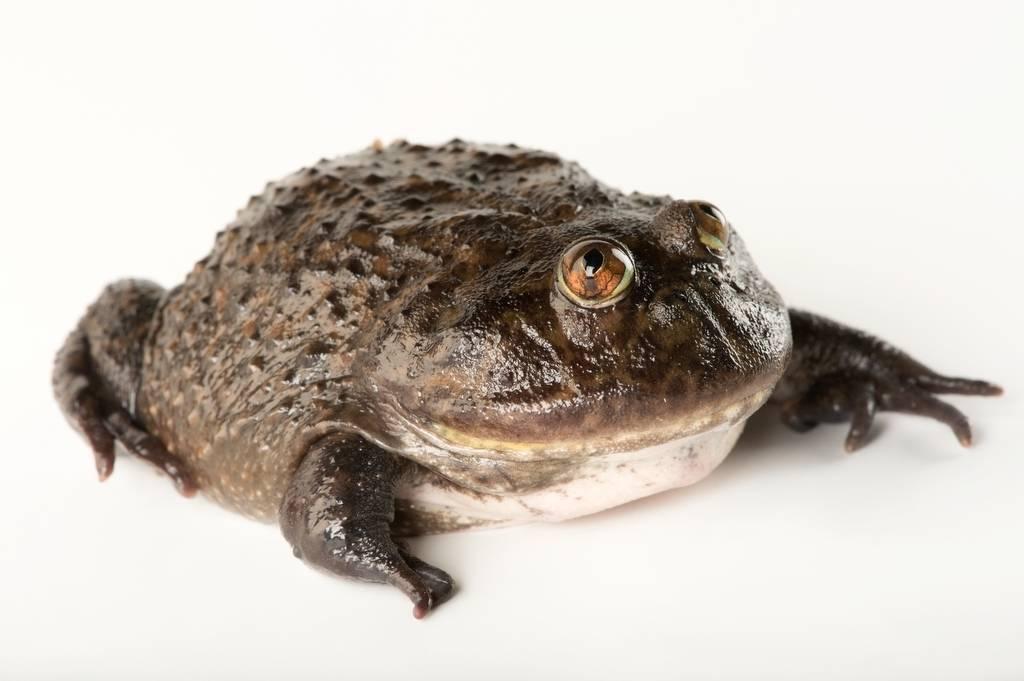 An Escuerzo or Budgett's frog (Lepidobatrachus asper) at Zoo Atlanta.