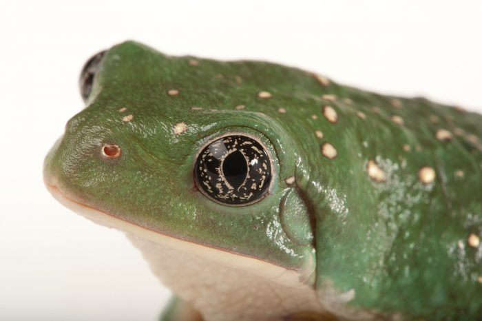 A Mexican Leaf Frog (Pachymedusa dacnicolor) from the LA Zoo.